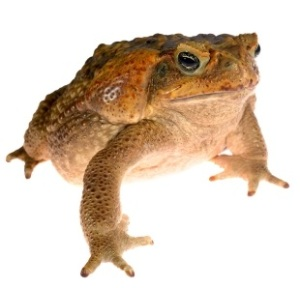 Cane toad toxicity