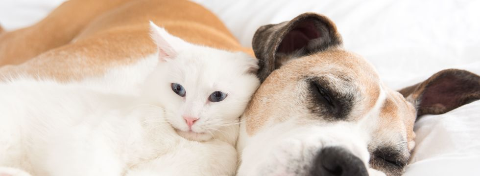 shutterstock 408717949 old dog in bed with white cat